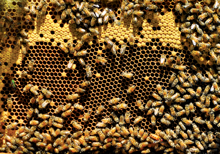 honeybees_5